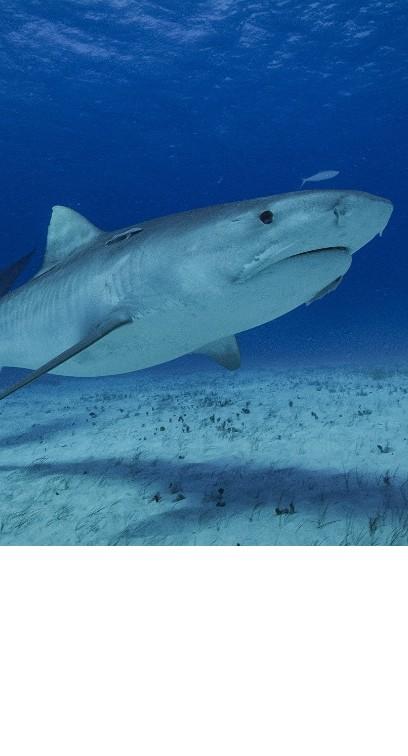 Rekiny w krainie wulkanów