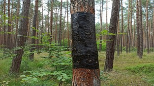 03.07.2020 07:00 Kto i po co okleja drzewa w lesie czarną taśmą? Zagadka została rozwiązana!
