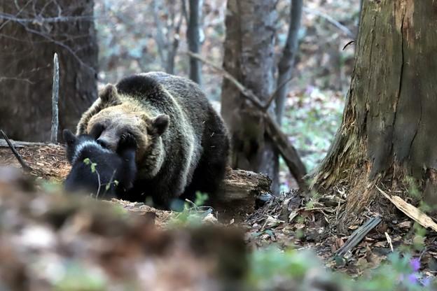 Niedźwiedzia rodzina z Baligrodu