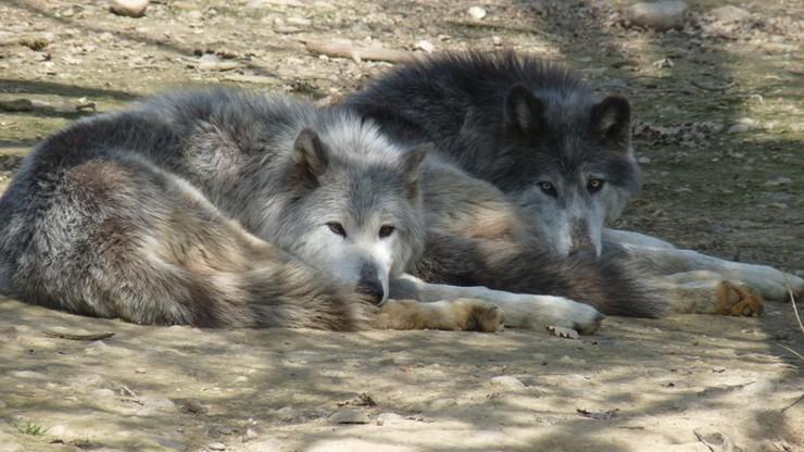 Wilki zaatakowały gospodarstwo agroturystyczne