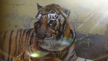 """Uratowane tygrysy nie mogą wyjechać do azylu w Hiszpanii. """"Historia niestety się powtarza"""""""