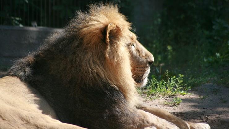 """14-letni lew może zostać uśpiony. """"Mamy dylemat, gdy zwierzę jest bezpłodne"""""""