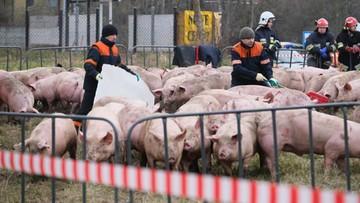 Stado świń tuż przy rondzie. Niecodzienny wypadek