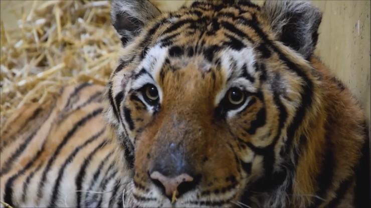 Tygrysy z Poznania wyruszyły do azylu w Hiszpanii. Akcję nadzorowali antyterroryści