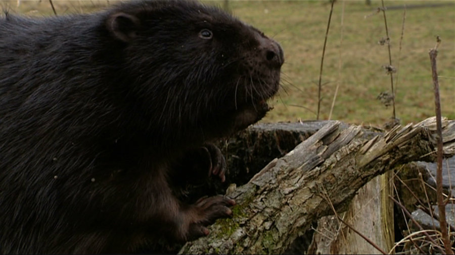 Niechciane bobry