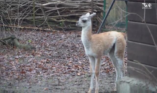 Mikołaj, młode gwanako z wrocławskiego zoo